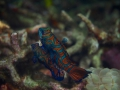 Mandarin fish PC068689