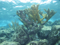 Elandgewei koraal