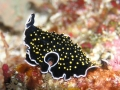 Yellow spot flatworm