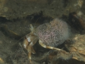 Heremietkreeftje met zeerasp