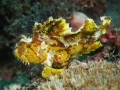 Leaf Scorpion-fish