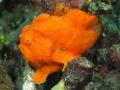 Painted Anglerfish