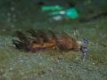 Pteraeolidia ianthina (Blue Dragon)