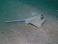 Bleu spotted ray.